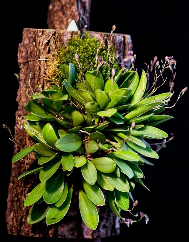 Miniatur-Orchideen Teil 4 967fce10