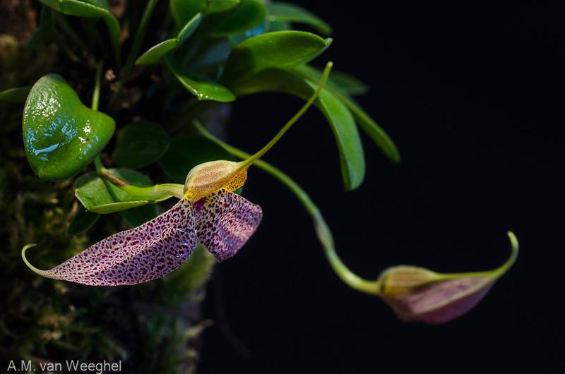 Miniatur-Orchideen Teil 3 - Seite 42 Aad88910