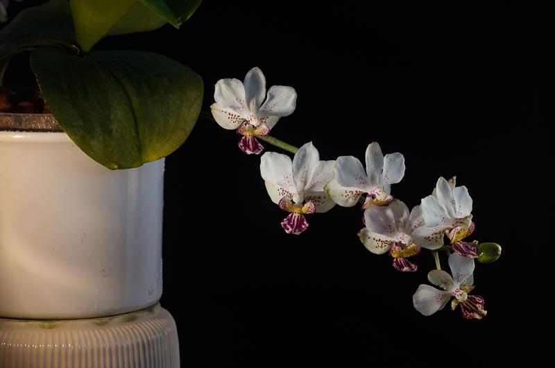 Phalaenopsis finleyi x stuartiana f. punctatissima Bfb60b10