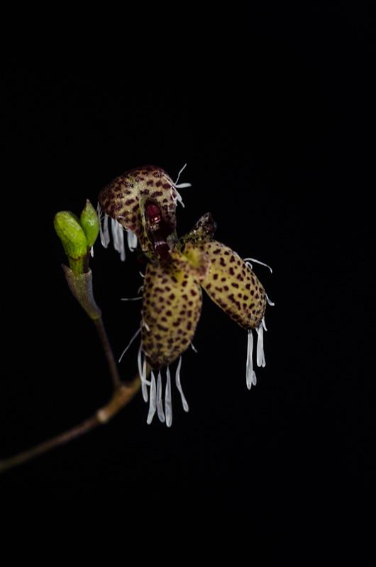 Miniatur-Orchideen Teil 4 D4822f10
