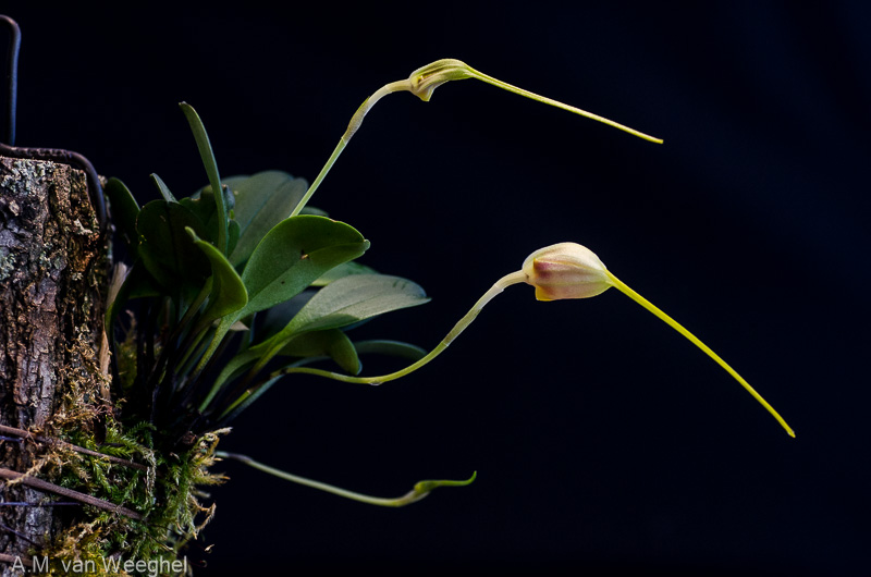 Miniatur-Orchideen Teil 3 - Seite 42 Dc009e10