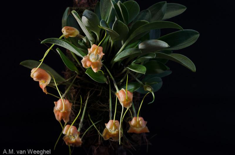 Miniatur-Orchideen Teil 3 - Seite 41 E9704310