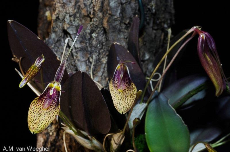 Restrepia - Seite 11 Orchid10