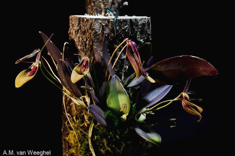 Restrepia - Seite 11 Orchid11