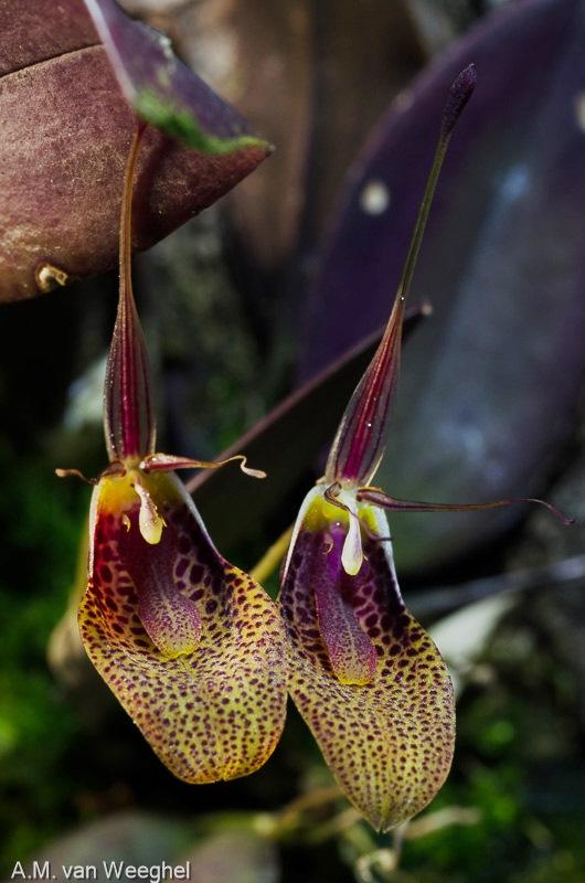 Restrepia - Seite 11 Orchid12