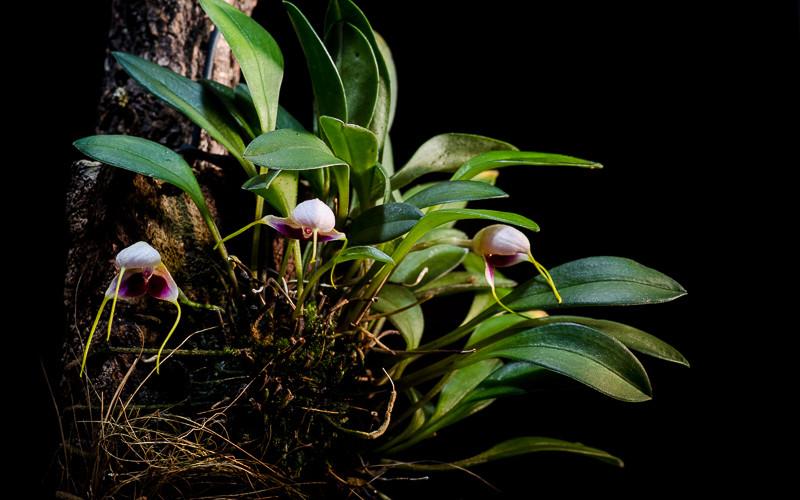 Miniatur-Orchideen Teil 4 - Seite 4 Orchid18