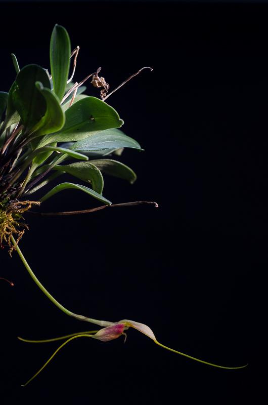 Miniatur-Orchideen Teil 4 - Seite 4 Orchid20