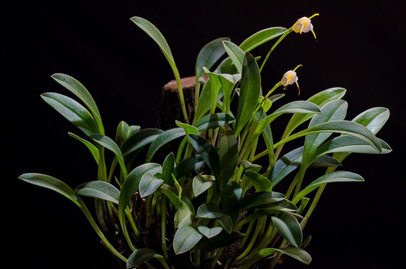Miniatur-Orchideen Teil 4 - Seite 4 Orchid22