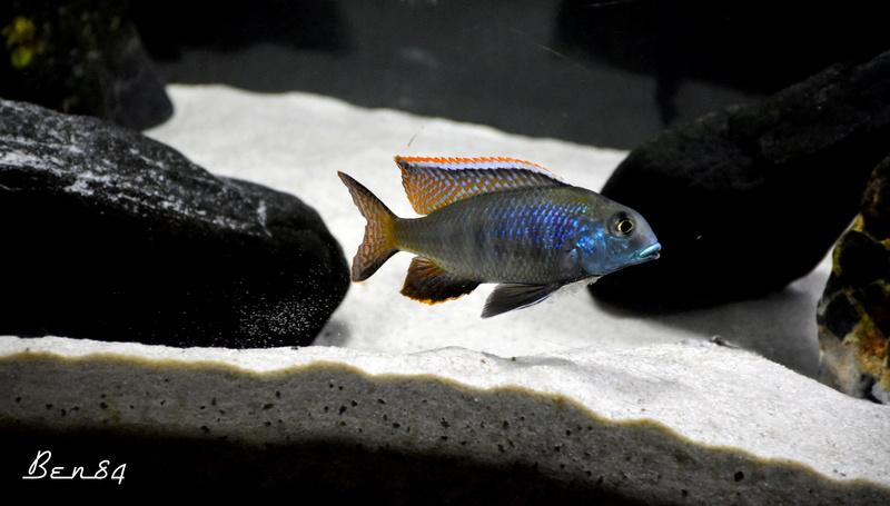 tramitichromis chirwa Dsc_0110