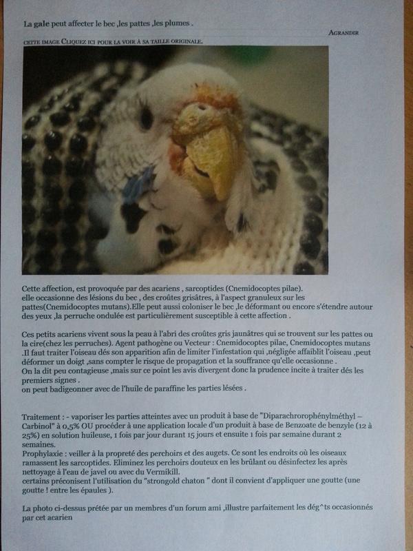 nouvelles perruches ondulées: gale? 20171110