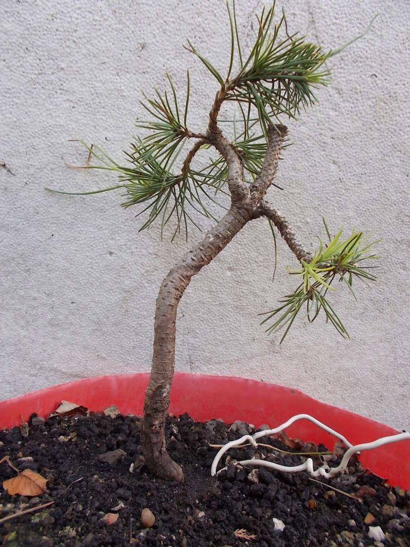 Pinus nigra Dscn0310