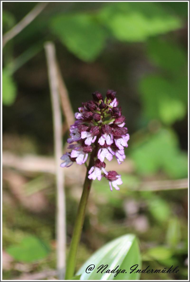 Orchidée sauvage (France) Cadrei15
