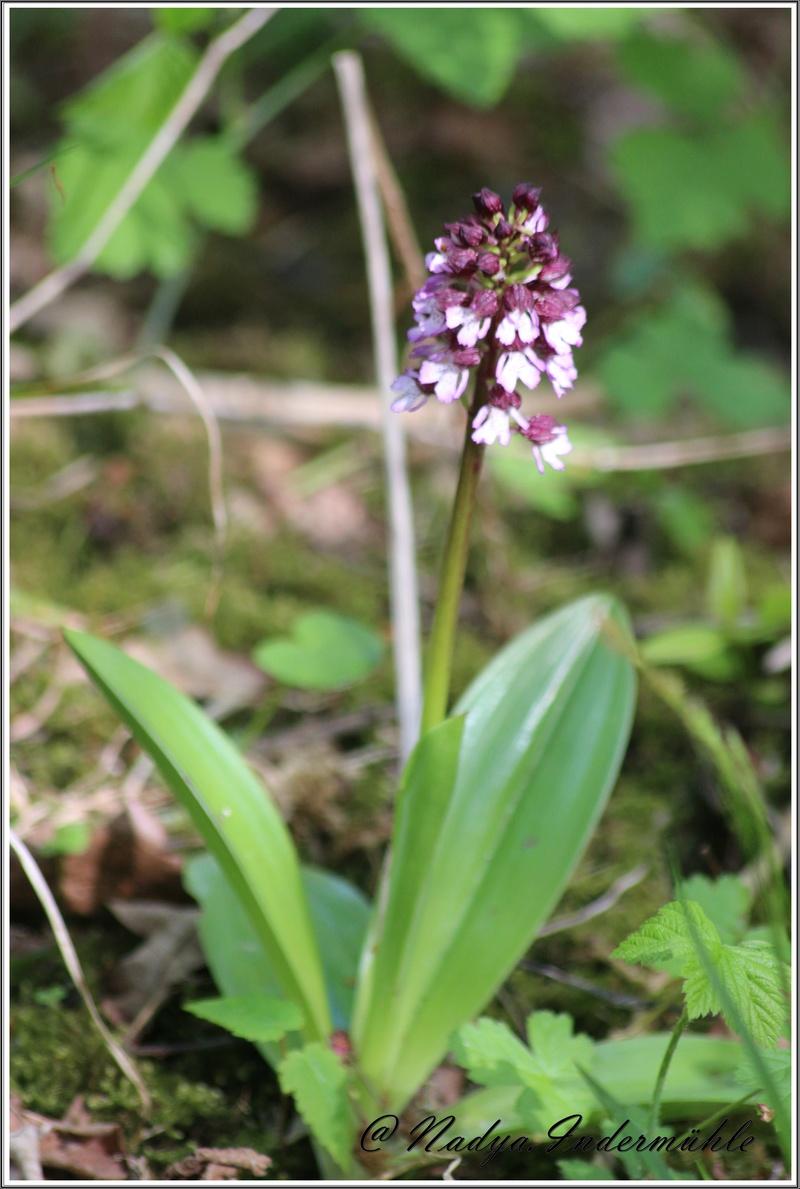 Orchidée sauvage (France) Cadrei16