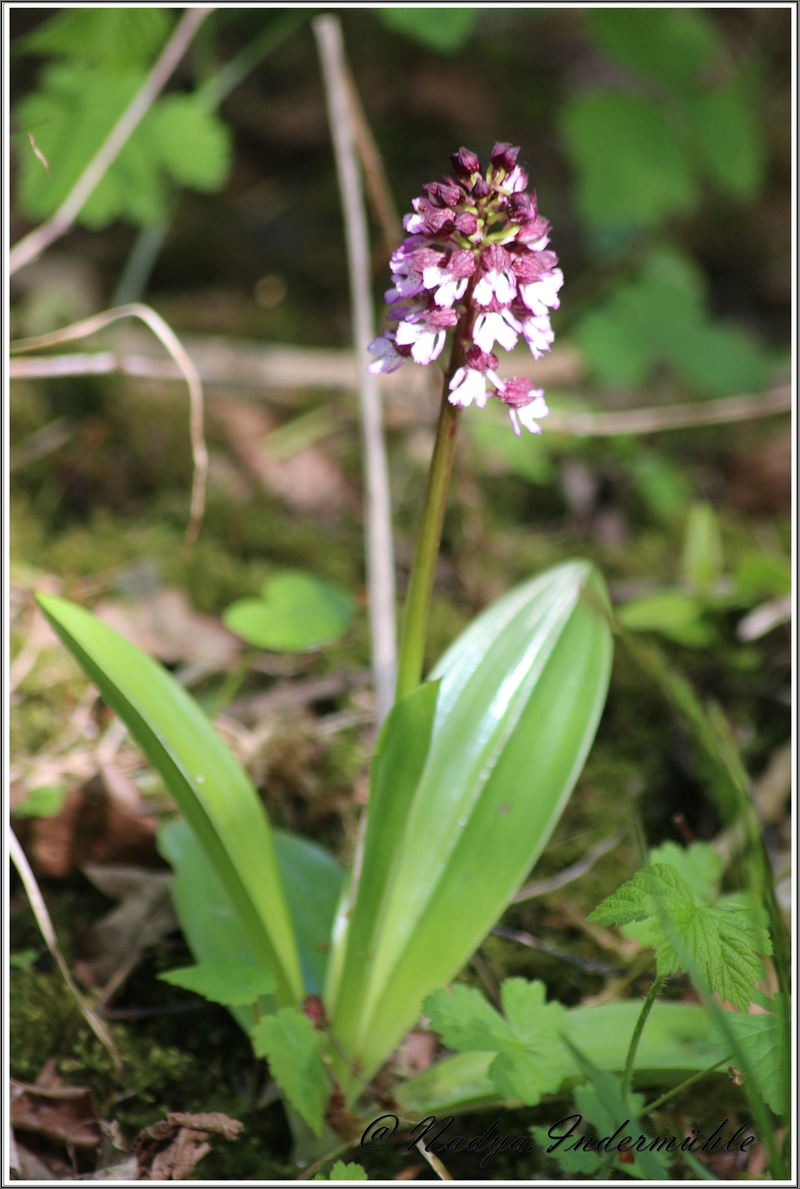 Orchidée sauvage (France) Cadrei18