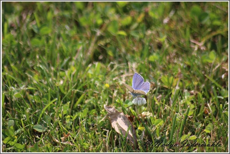 papillon lycenes bleus (polyommatus spp Cadrei30