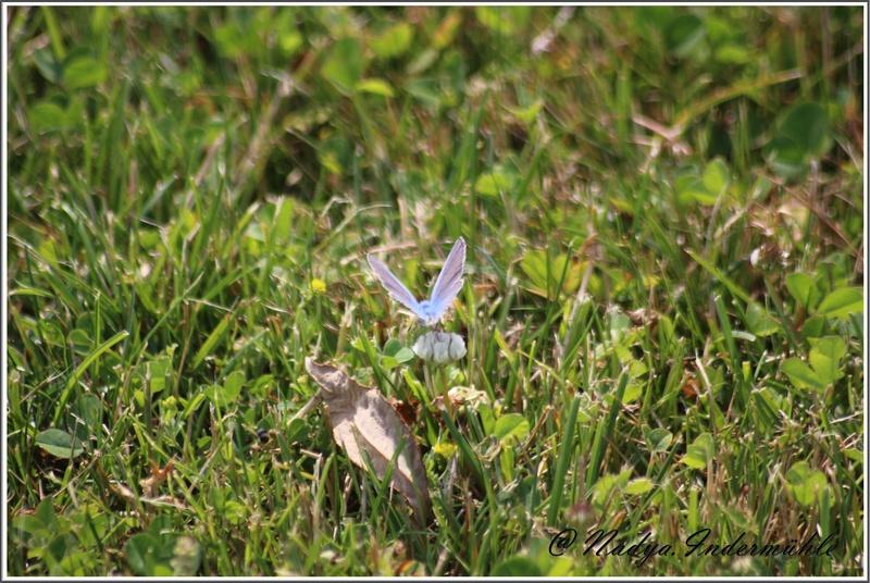 papillon lycenes bleus (polyommatus spp Cadrei32