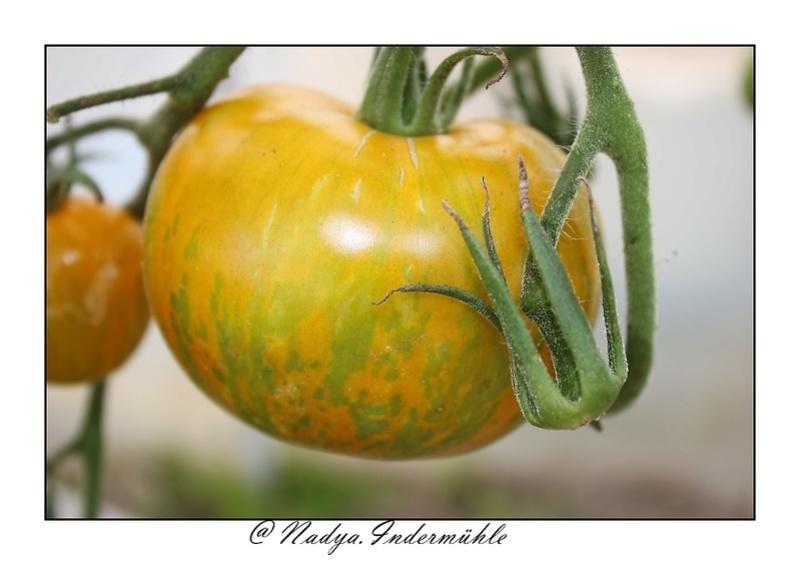 La tomate Cadrim11