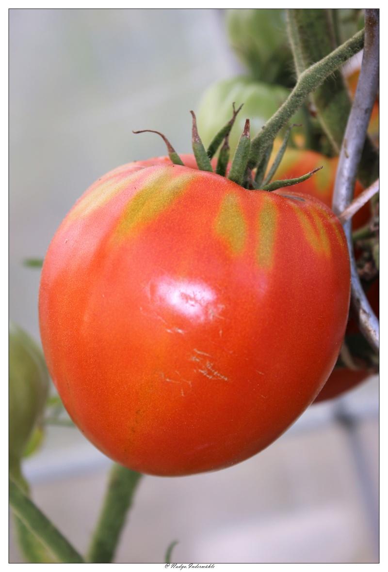 La tomate Cadrim12