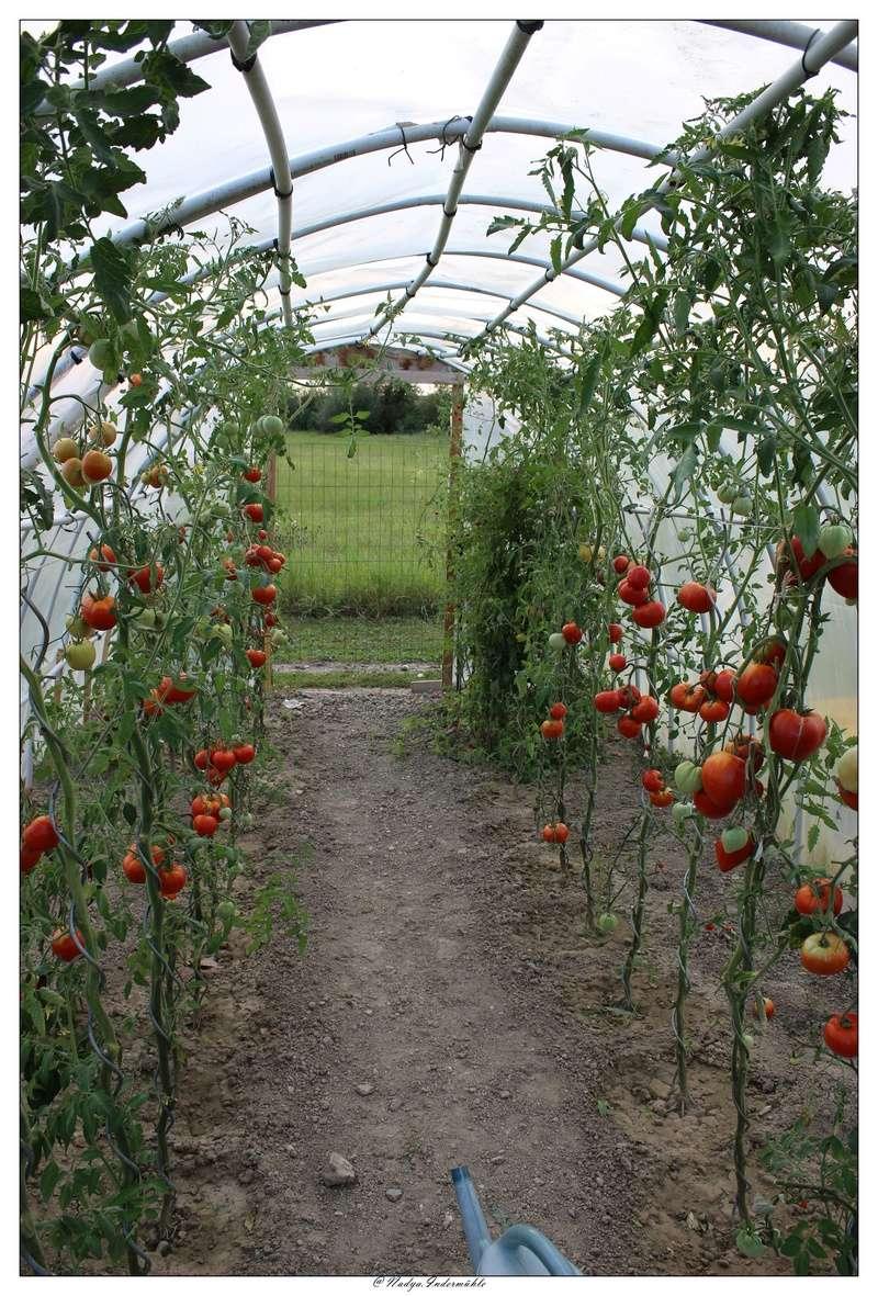 La tomate Cadrim13