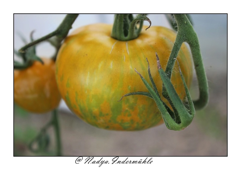 La tomate Cadrim15