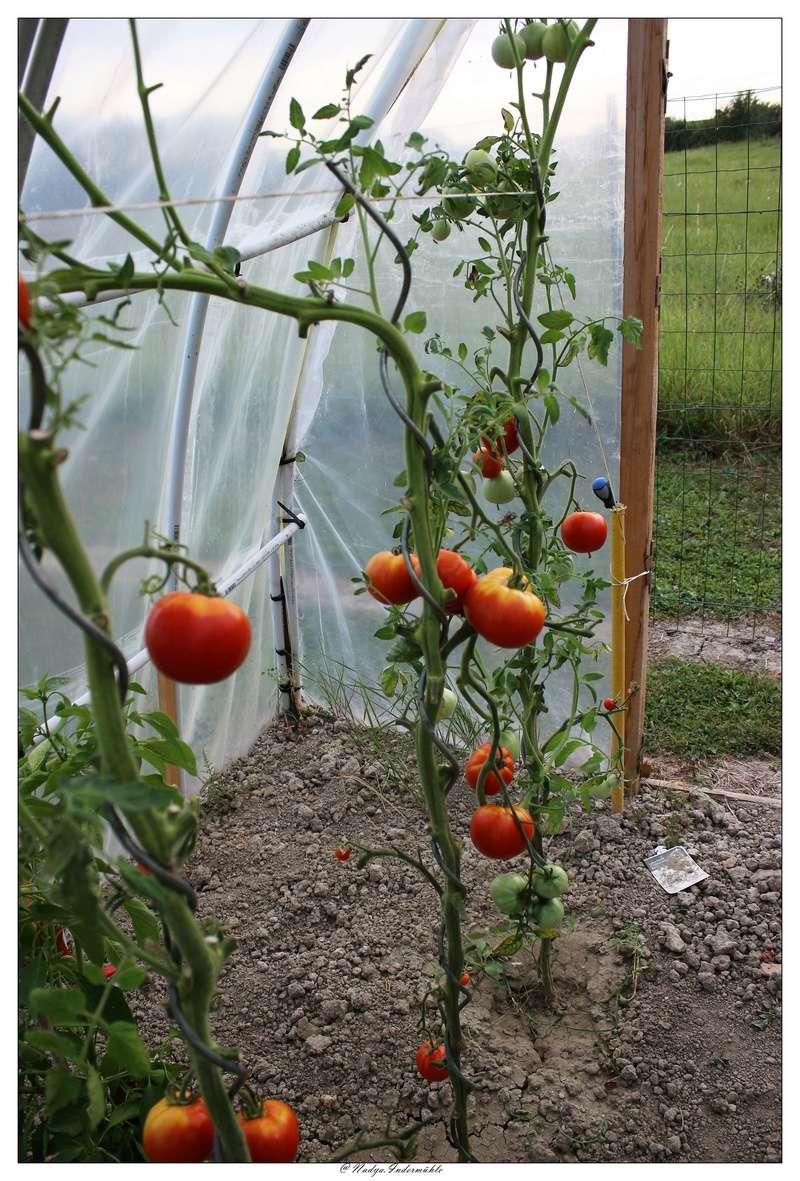 La tomate Cadrim18