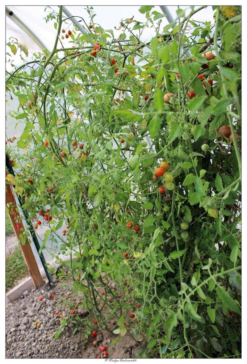 La tomate Cadrim19