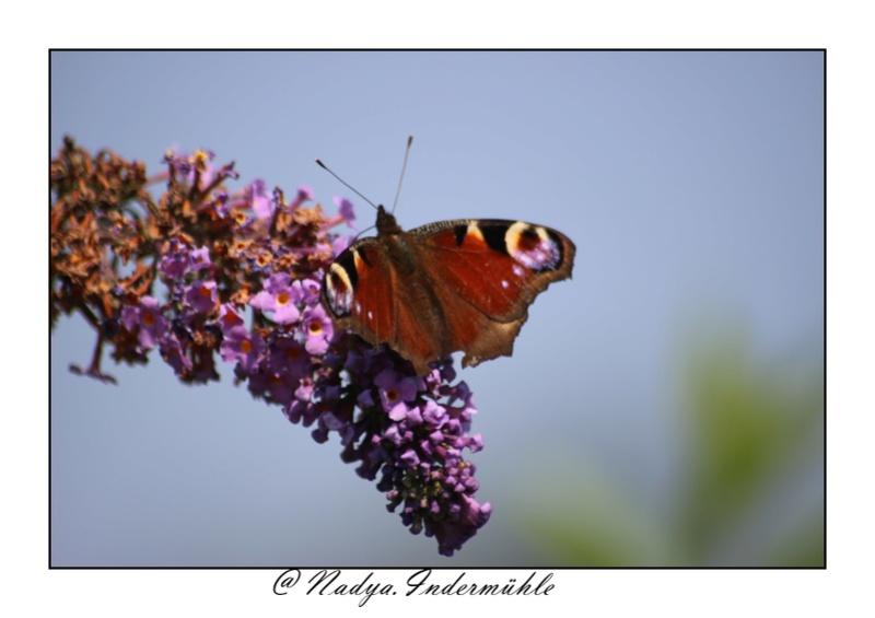 Le PAON du JOUR (Inachis io) ! (Lépidoptère Nymphalidae) Cadrim20