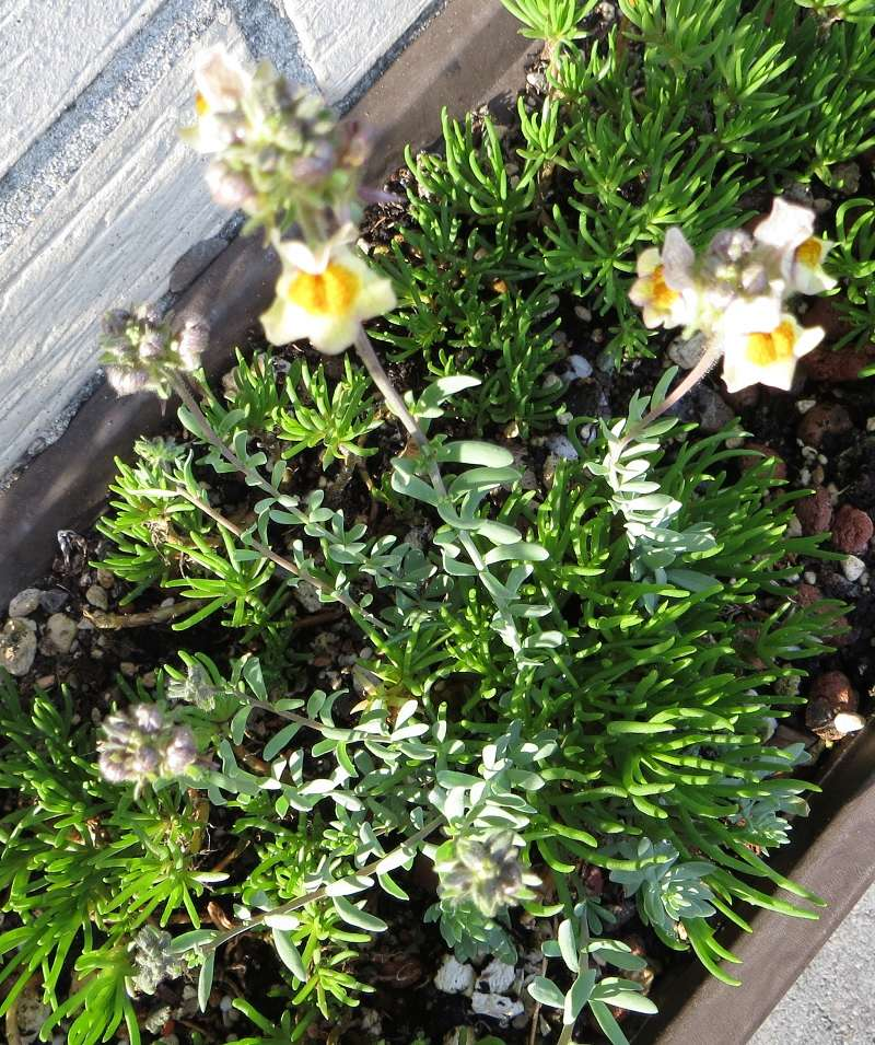 Michis blinder Passagier - was für eine Pflanze ist das? - gelöst: Linaria aeruginea Michi-13
