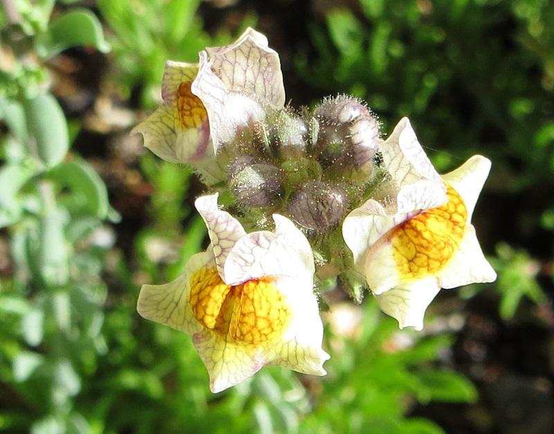 Michis blinder Passagier - was für eine Pflanze ist das? - gelöst: Linaria aeruginea Michi-14