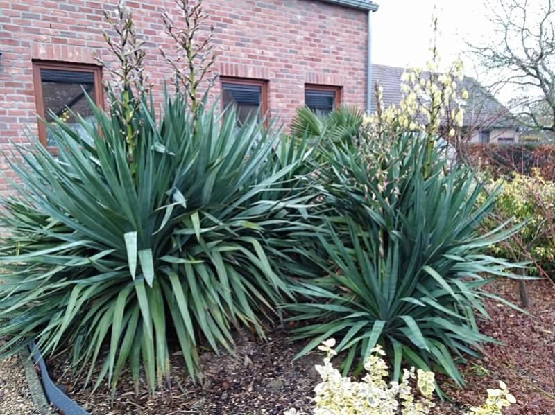Yucca rostrata Img_2062