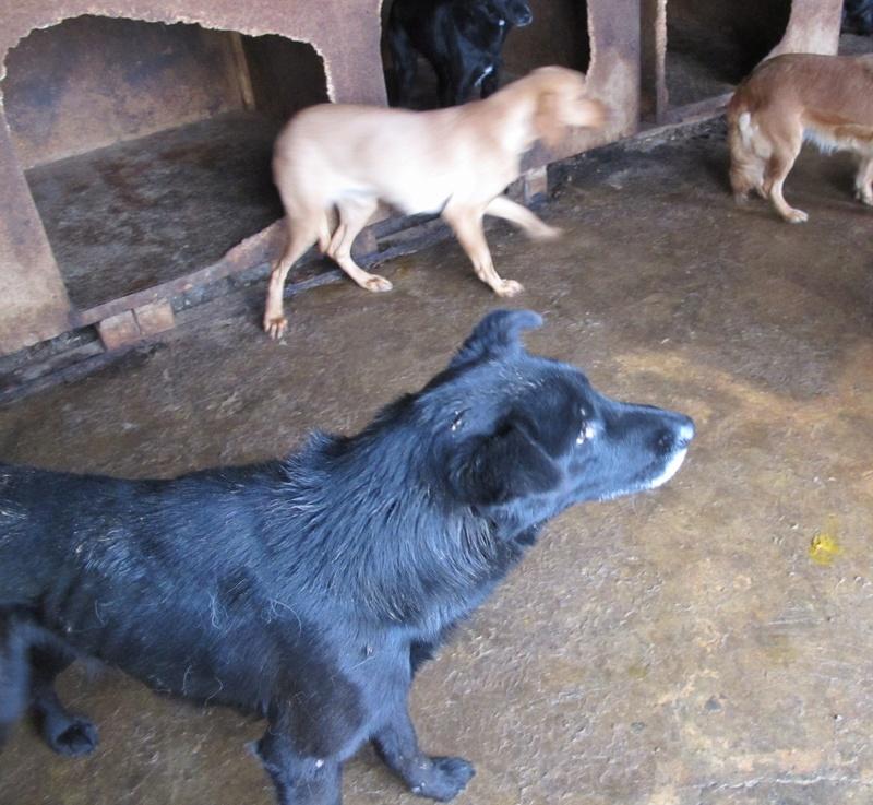 JUSTIN M-X labrador noir, taille moyenne, env. 25 kg, né 2013 Ex-Backa(BELLA)PRET/ BESOIN DE SOINS Lb110