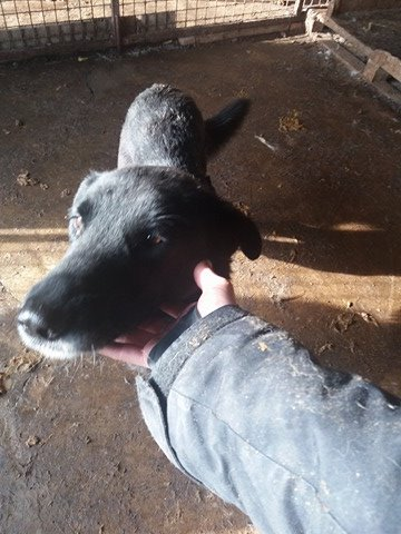 JUSTIN M-X labrador noir, taille moyenne, env. 25 kg, né 2013 Ex-Backa(BELLA)PRET/ BESOIN DE SOINS Lb211