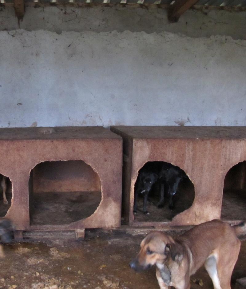 JUSTIN M-X labrador noir, taille moyenne, env. 25 kg, né 2013 Ex-Backa(BELLA)PRET/ BESOIN DE SOINS Lb310