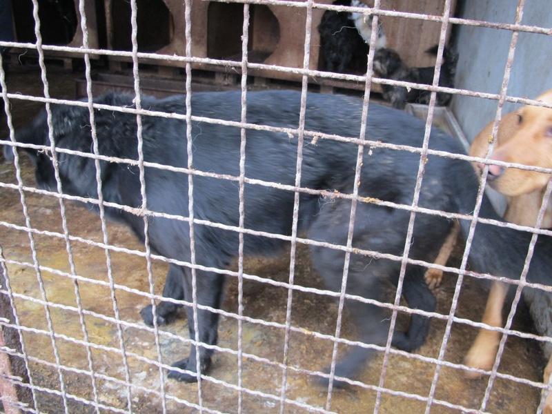 JUSTIN M-X labrador noir, taille moyenne, env. 25 kg, né 2013 Ex-Backa(BELLA)PRET/ BESOIN DE SOINS Lb510