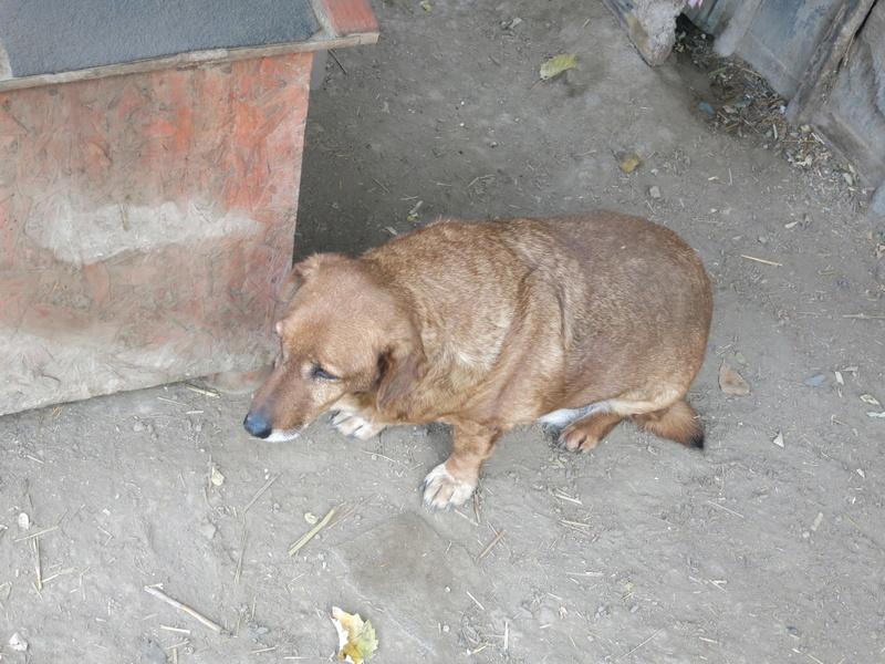 gigi - GIGI M-X, taille moyenne, 25 kg, né 2007 - Ancien de Backa (PENSION MILICA) - PRET A RENTRER ! Photos13