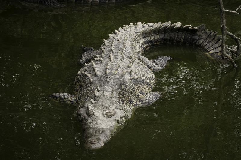 crockodiles Croc10