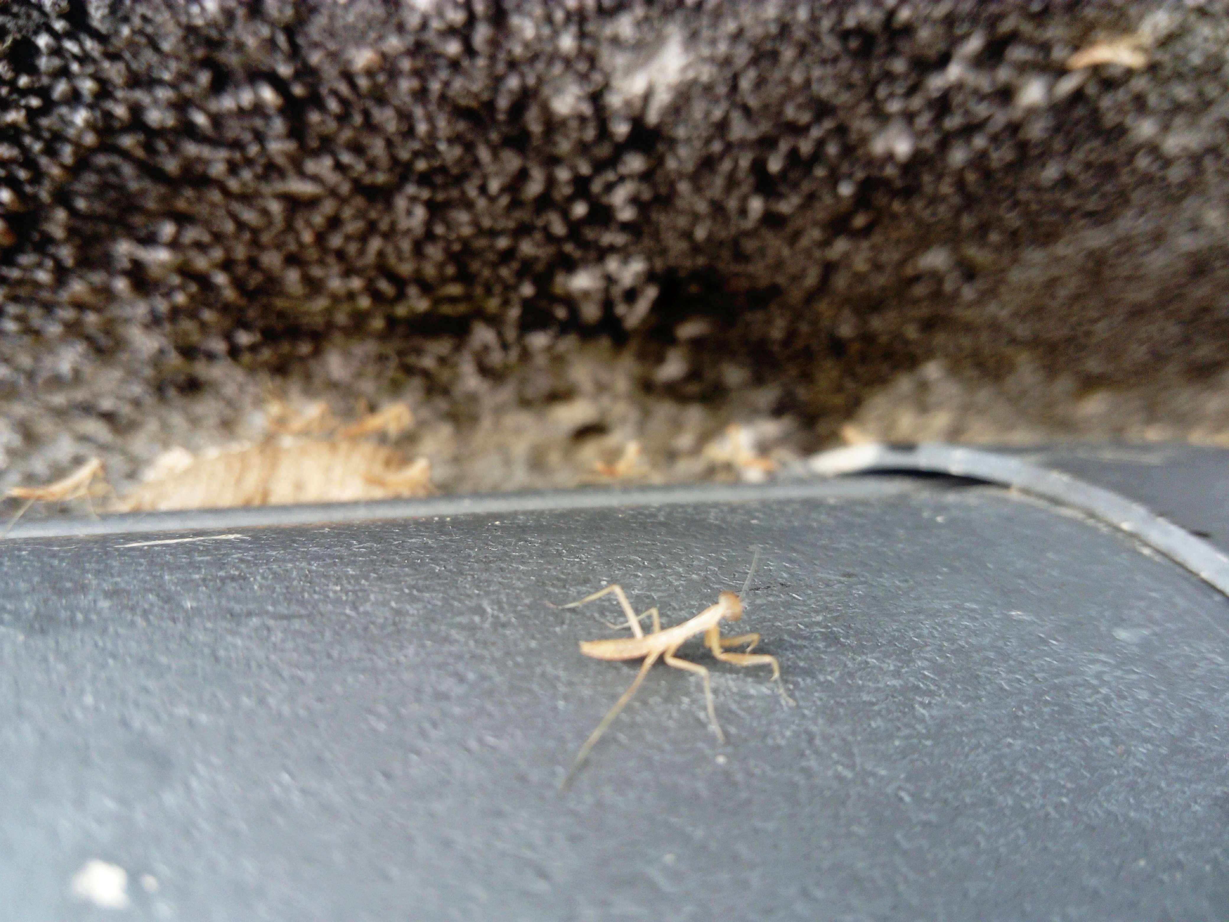 Herping Mantis religiosa Dsc_0631