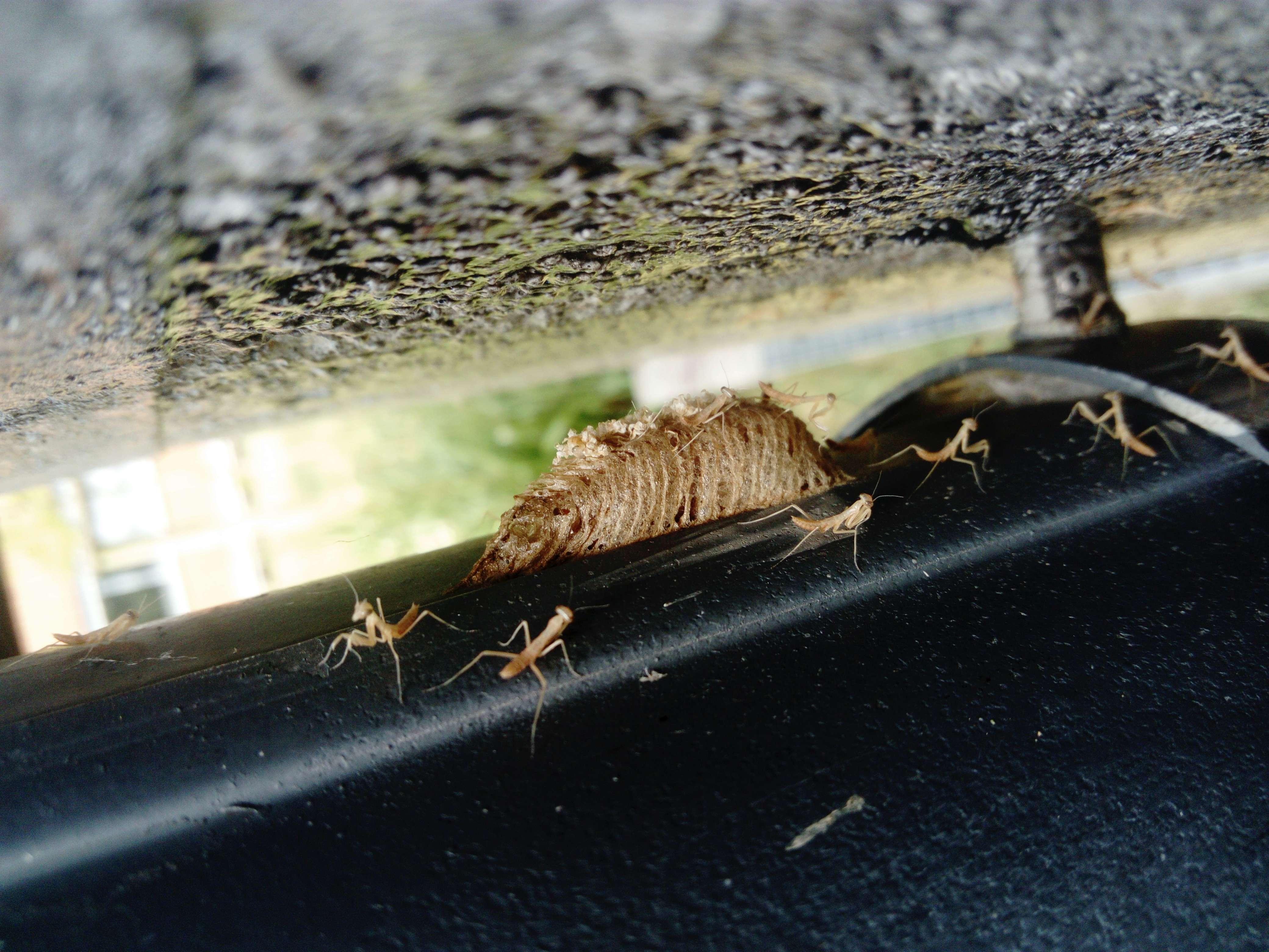 Herping Mantis religiosa Dsc_0632