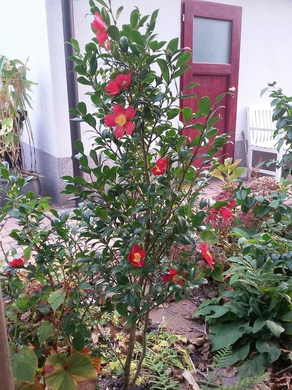 Camellia - Kamelien - Seite 4 Sasanq11