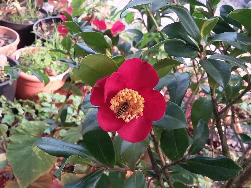 Camellia - Kamelien - Seite 4 Sasanq12