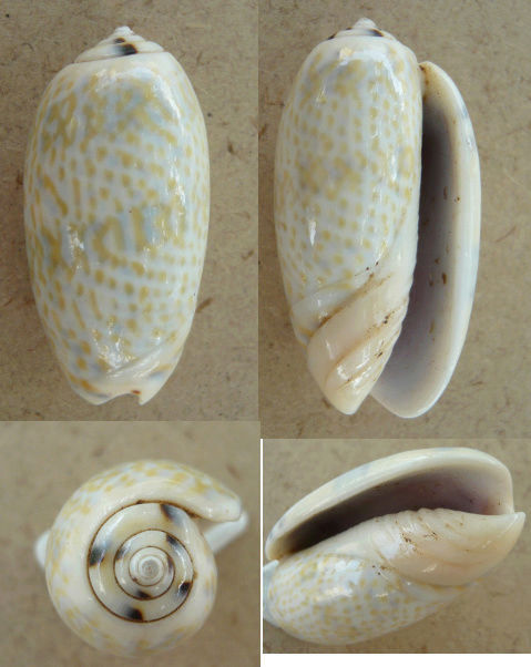 Viduoliva tricolor f. philanta (Duclos, 1835) Olive_13