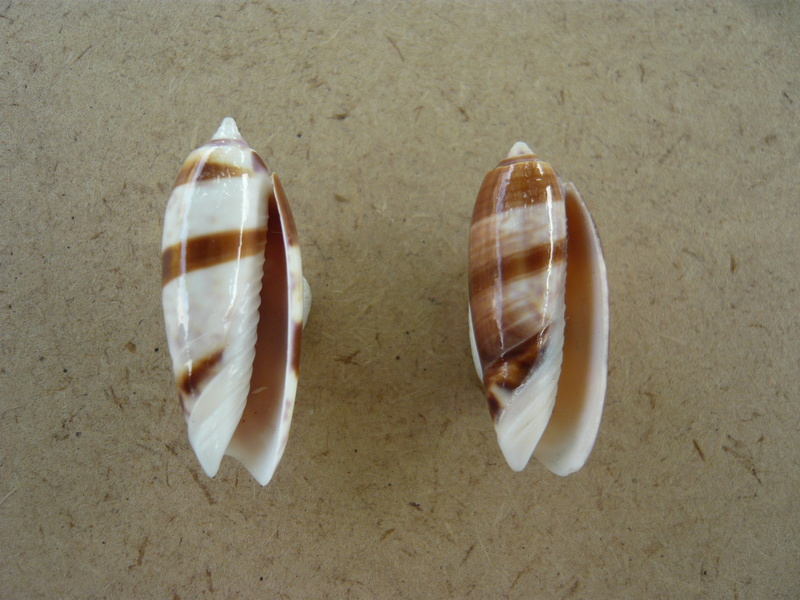 Miniaceoliva lamberti P1130811