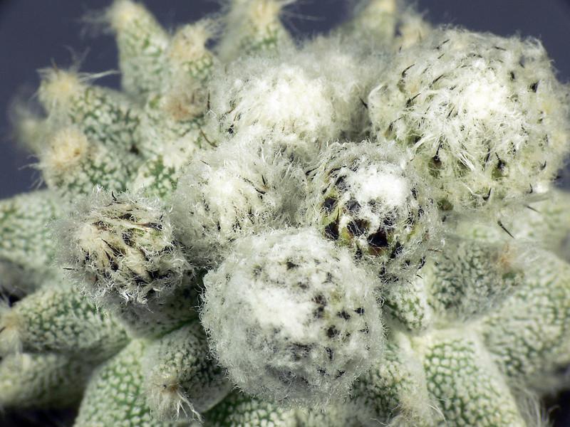 Cultivar Astrophytum myriostigma cv. Lotusland P1040910