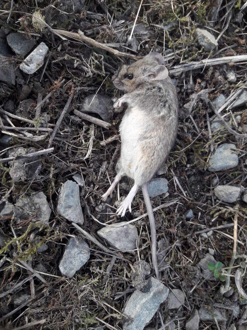 Attaque de rats 20180315