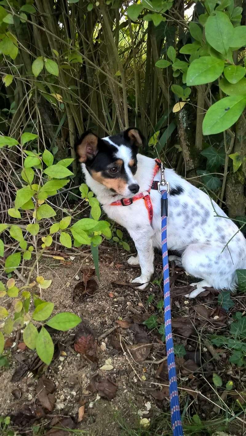 LINDA - chienne croisée de petite taille, née environ en juillet 2014. Joueuse et amicale (Pascani) - adoptée par Delphine (18) Wp_20113