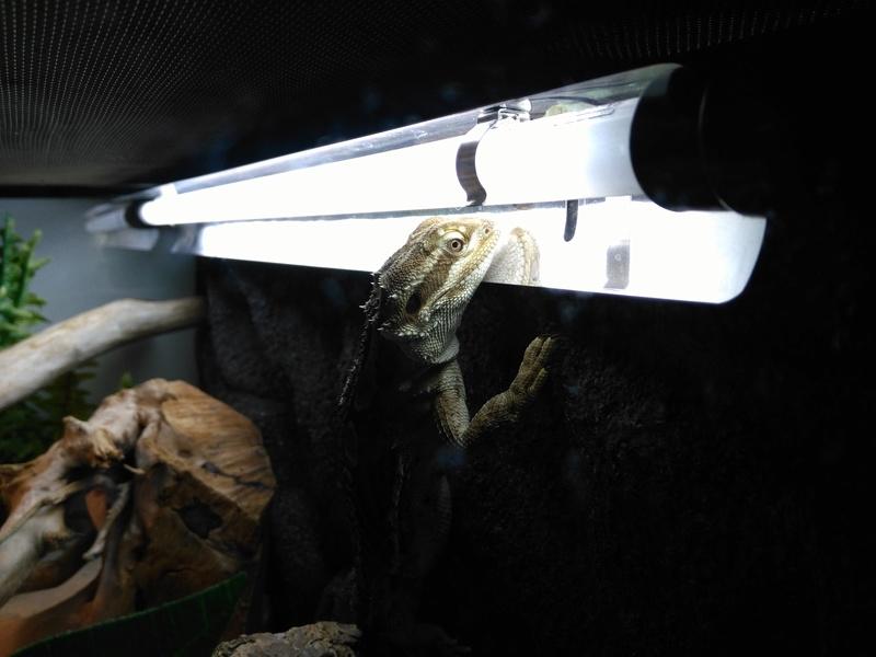 Pogona agiter... y a t'il un problème dans mon terrarium ? - Page 2 Img_2013