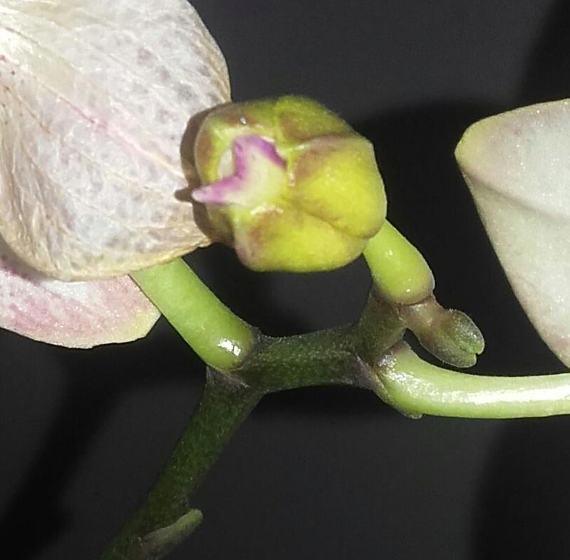 Phénomène bizare sur mon phalaenopsis 20171111