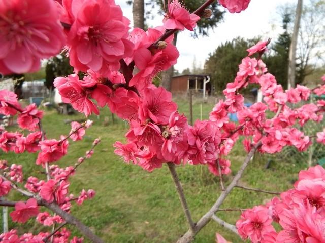 Was für Obstsorten habt Ihr denn im Garten? Aussaat, Spalier, Beerensträucher, Erfahrung und Hilfe :) - Seite 14 Pfirsi10