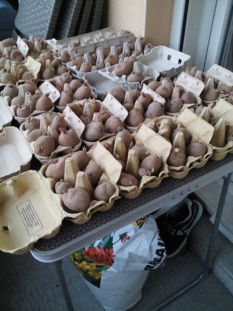 pommes de terre P-d-t_10