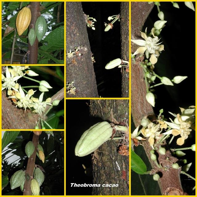 Kakaobaum (Theobroma cacao)  - Seite 2 Collag17